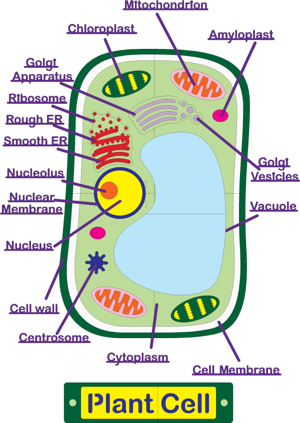 Understanding the Plant Cell: 3 Engaging Activities