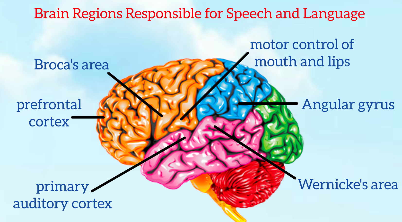Dr. Melissa Hughes Brain Diagram Speech and Language